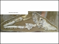 A001 Mosasaurus skelet compleet